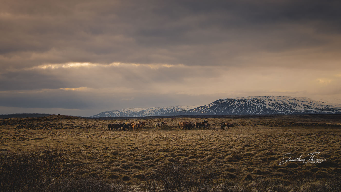A group of Icelandic Ponies standing in open grassland, a mountain range is in the distance and sunlight is streaming down from a gap in the clouds