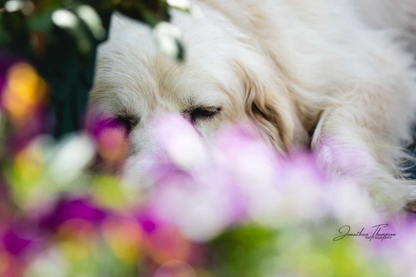 Tundra the Pyrenees Mountain Dog sleeping. Foreground has colourful out of focus flowers