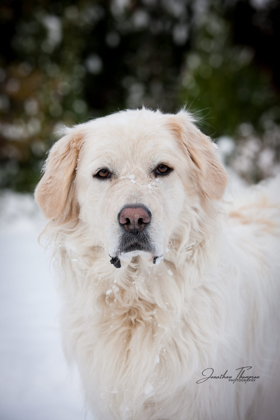 Tundra the Pyrenees Mountain Dog looking straight at camera looking alert in the snow